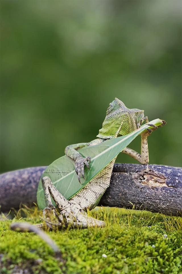 La lucertola che suona la chitarra - Foto di Aditya Permana